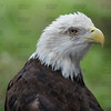 Close-up of a Southern Bald Eagle; also known as: Bald Eagle, American Eagle, Sea Eagle or Fish Eagle (Haliaeetus leucocephalus leucocephalus).  They are found in the Gulf States from Texas and Baja California across to South Carolina and Florida; at the Jacksonville Zoo and Gardens.