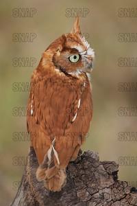 Rufous Morph Screech Owl