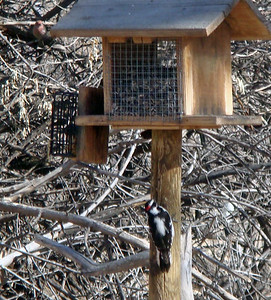 male Downy Woodpecker, Rio Grande Nature Center, Albq