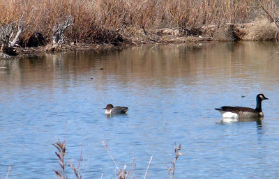 male Green-winged Teal and Canadian Goose, Rio Grande Nature Center, Albq