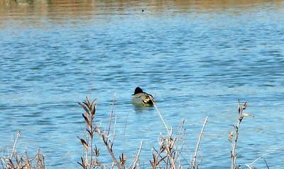 male Green-winged Teal, Rio Grande Nature Center, Albq