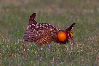 Booming Male Prairie Chicken
