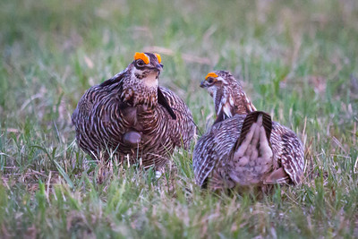 Prairie Chickens Banded and Radio Collared