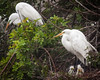 Great White Egret Family