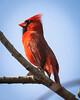 Noble Cardinal