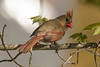 Female Cardinal in Spring