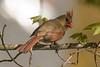 Female Cardinal in Spring