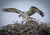Osprey Pair on Nest