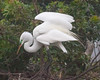 Great White Egret Pose