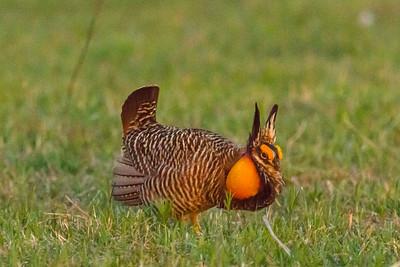 Re-Establishing the Prairie Chicken Population
