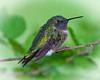 Tiny Ruby Throat Hummingbird