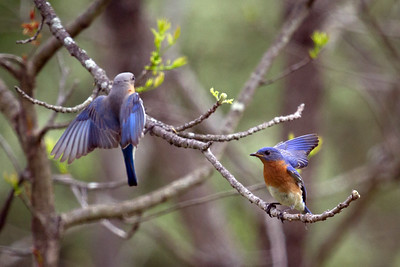 Bluebird Pair at Forbes State Park in IL