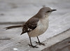 Mockingbird Close-Up