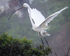 Great White Egret Nesting