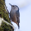 nuthatch, White Breasted