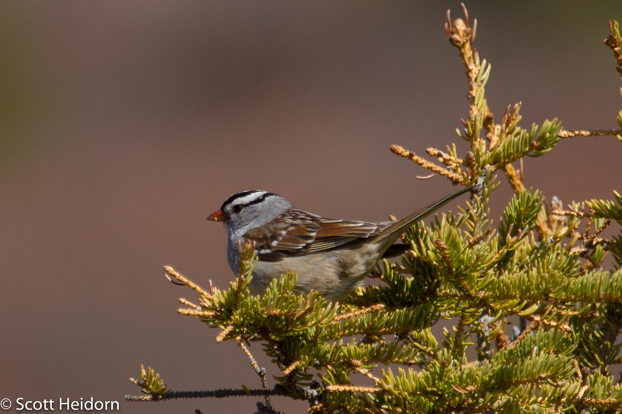 Sparrow, White Crowned