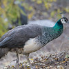Peafowl, Female