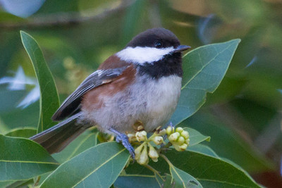 Chickadee, Chestnut Backed