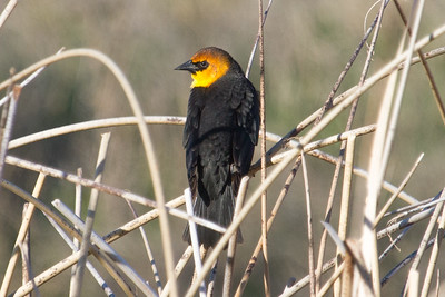 Blackbird, yellow  headed
