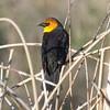 Blackbird, yellow  headed