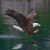 Eagle ,Bald
