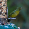 female, finch, Florida, house finch, Painted Bunting