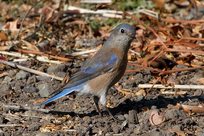 Bluebird, Western female