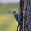 Woodpecker, Red Bellied, Female