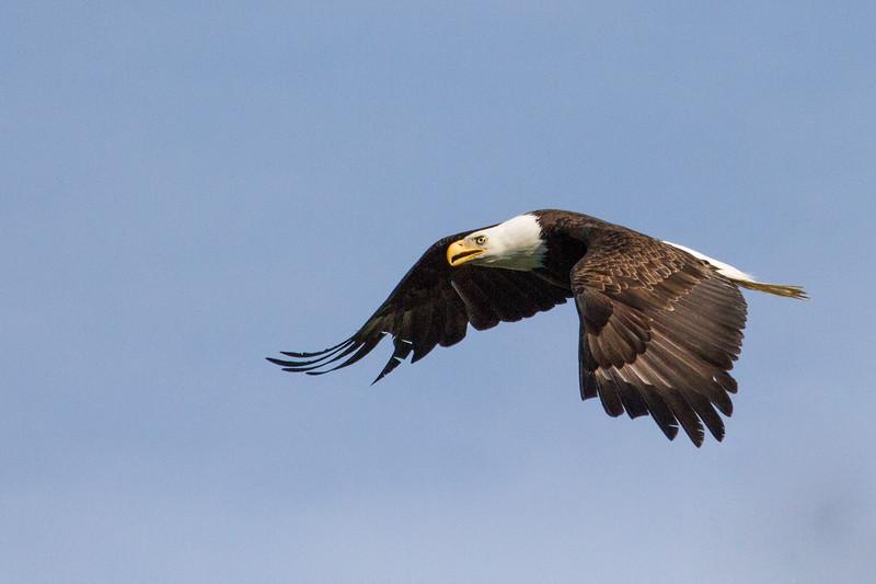 Eagle, Bald