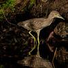 Heron, Night-Immature, Florida, Spring
