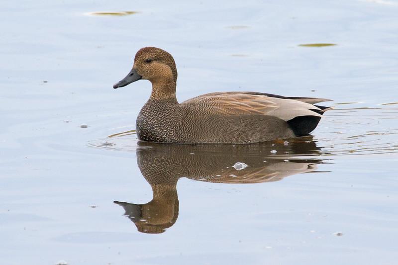 Duck, Gadwall