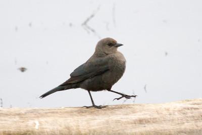 Blackbird, Brewers