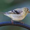 Finch, Goldfinch, American