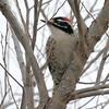 Woodpecker, Nuttal's