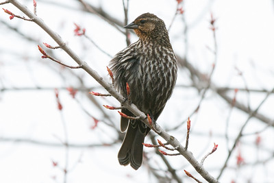 Blackbird, Red-winged, Female