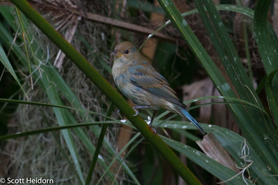 Bunting, Indigo, Female