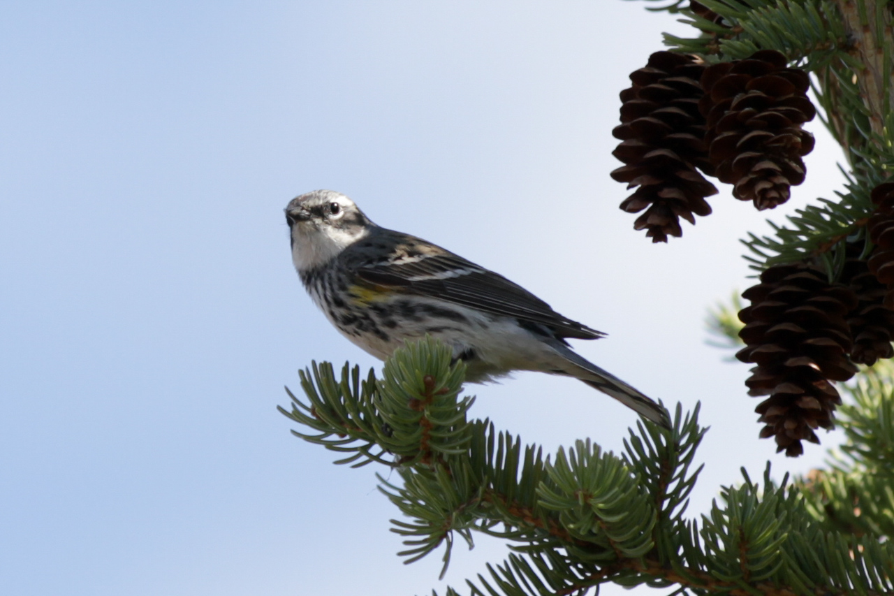 Warbler, Yellow Rumped, Myrtle
