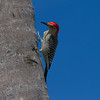 Woodpecker, Red Bellied