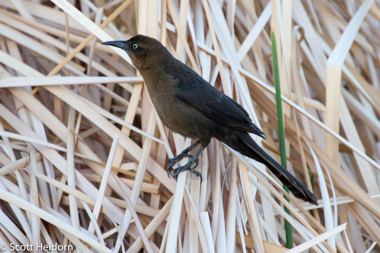Grackle, Great-tailed, Female