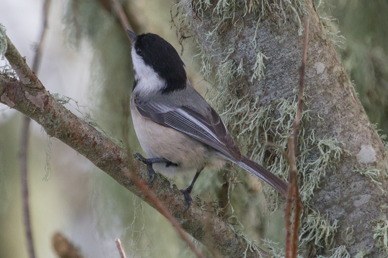 Chickadee, Blackcapped