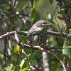 Warbler, Yellow Rumped, Immature
