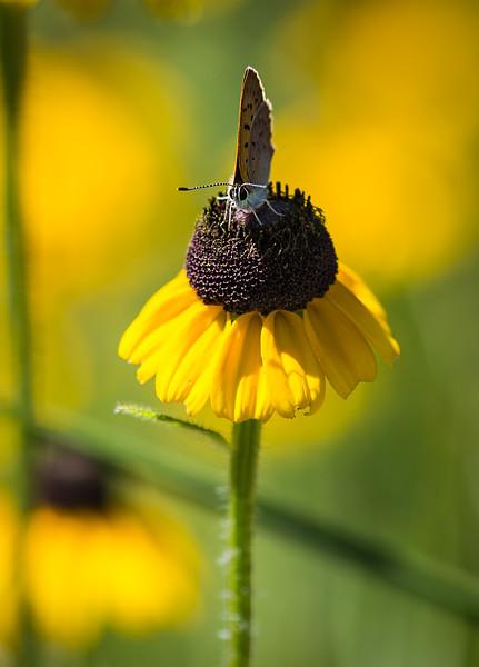 Macro of moth on blooming flower, Cheboygan, MI - July 2015