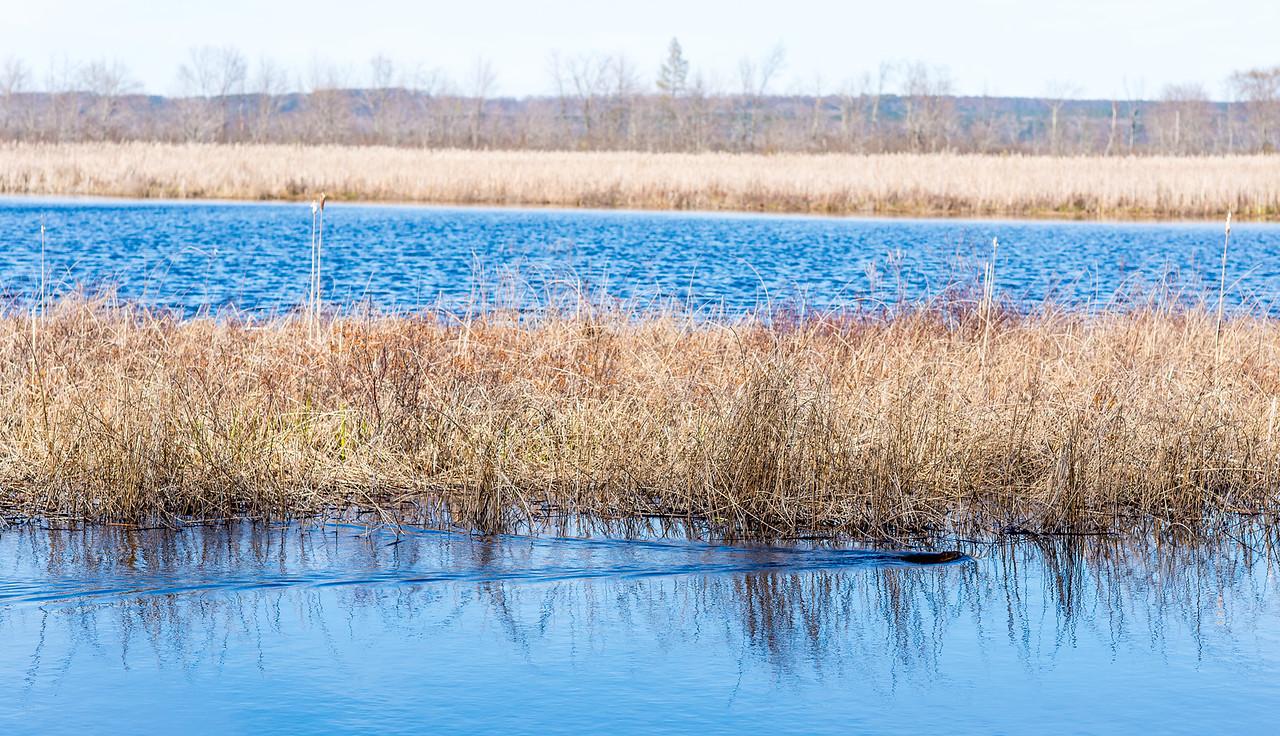 Muskrat swimming along my shoreline, Black Lake, Michigan - May 2017