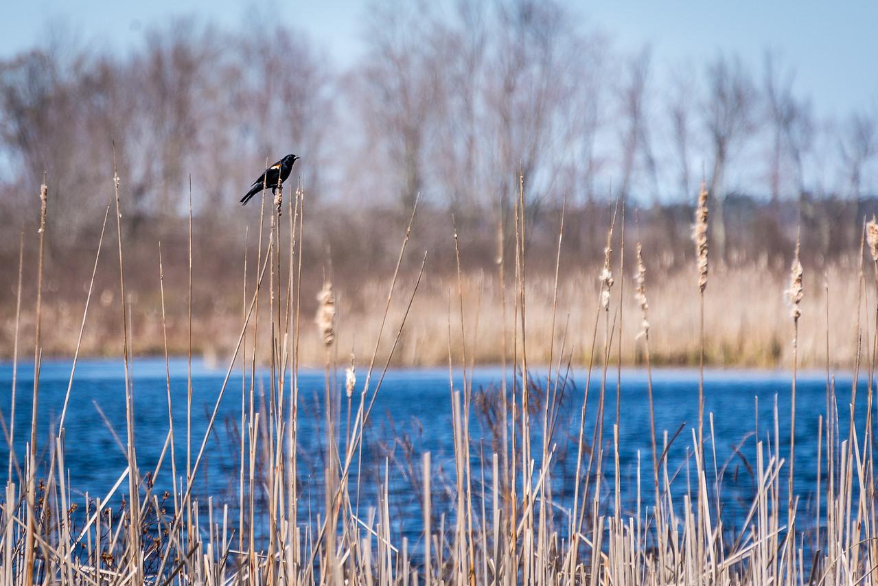Red-Winged Blackbird, Black Lake, Michigan - April 2017