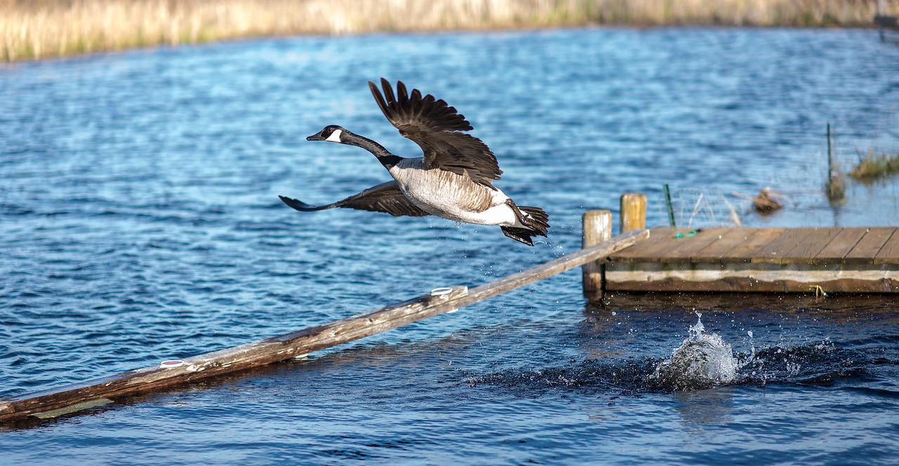 Chasing away nuisance Goose on Black Lake, Michigan - May 2017