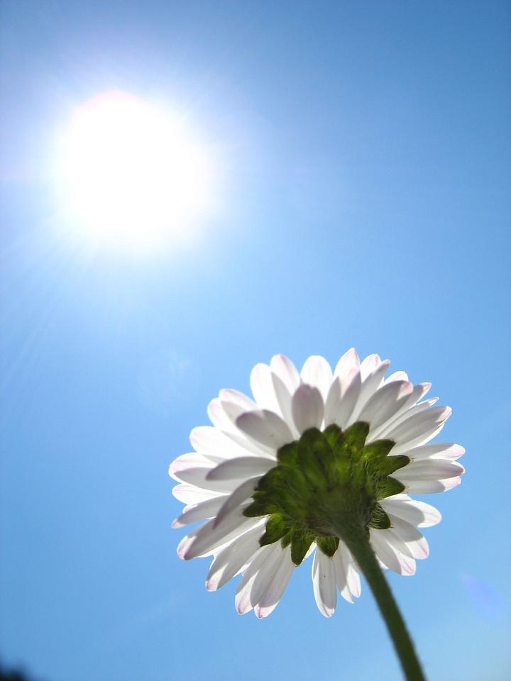 daisy in sun