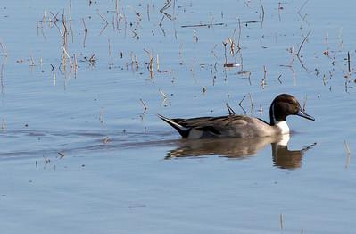 duck C5244