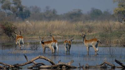 Lechwe, Kobus leche. Okavango Delta, Botswana.