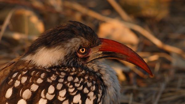 Red-billed Hornbill, Tockus erythrorhynchus. Savute, Botswana.