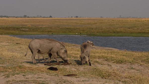 Warthog, Phacochoerus africanus. Chobe, Botswana.